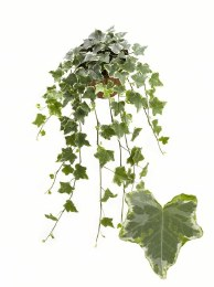 Trailing Ivy For Containers & Baskets 9cm