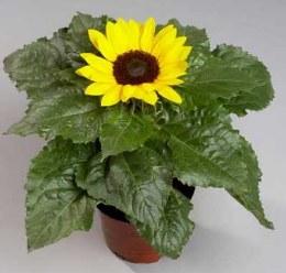 Sunflower Sunsation | Helianthus 'Sunsation' P13