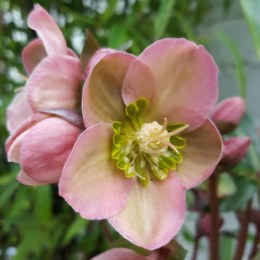 Helleborus 'Angel Glow' | Lenten rose 'Angel Glow'