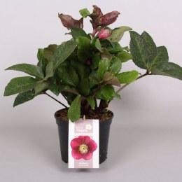 Helleborus 'Anna's Red' | Lenten Rose 'Anna's Red'