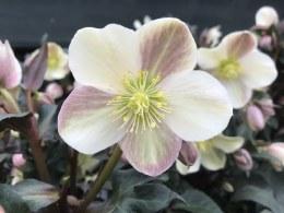 Helleborus 'Camelot' | Lenten rose 'Camelot'