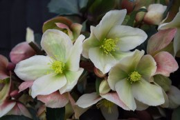 Helleborus 'Winter Sunshine' | Lenten rose 'Winter Sunshine'