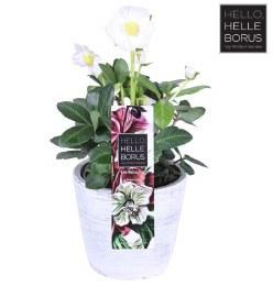 Helleborus Christmas Carol Stone pot