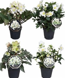 Helleborus Gold Collection