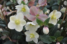 Helleborus 'Snow Dance' | Lenten Rose Hellebore 'Snow Dance'