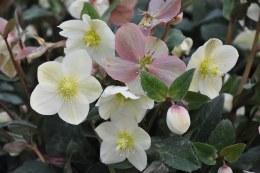 Helleborus 'Snow Dance' | Lenten Rose Hellebore 'Snow Dance'
