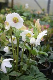 Helleborus niger 'Advent Star' | Christmas Rose