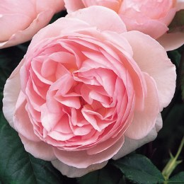 Heritage David Austin Fragrant Rose 6 Litre