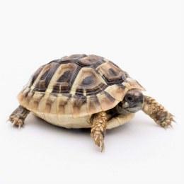 Tortoise Hermann's