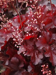 Heuchera Forever Red