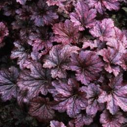 Heuchera 'Palace Purple' 3L