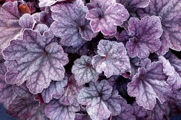 Heuchera Sugar Plum | Coral bells ' Sugar Plum'