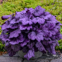 Heuchera Wild Berry 2L