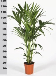 Howea forsteriana - Kentia Palm 120-125 cm