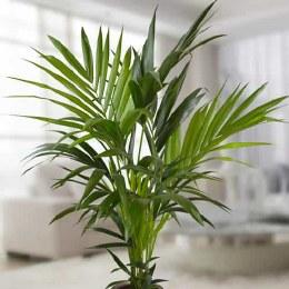 Kentia Palm | Howea Forsteriana - 80cm Tall