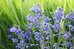 Bluebells | Hyacinthoides Non Scripta 35 Per Pack