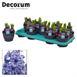 Hyacinthus 'Blue Pearl'
