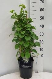 Hydrangea anomala petiolaris - Climbing Hydrangea