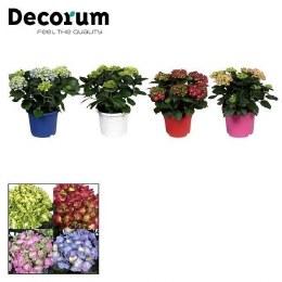 Hydrangea JG Macrophylla mix - 7.5 Litre