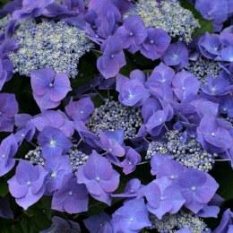 Hydrangea M.BlueskyTeller 7.5L