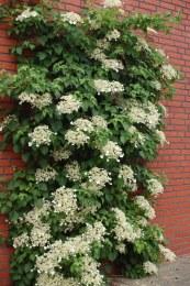 Hydrangea petiolaris 2L