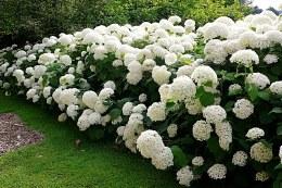 Hydrangea arborescens 'Annabelle' 2 litre