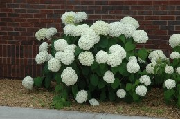 Hydrangea Arborescens Incrediball 3 Litre