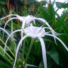 Hymenocallis Harrisiana - Fragrant Spider Lily