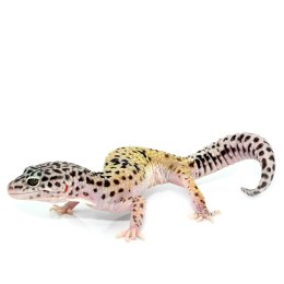 Hypo Mack Snow Leopard Gecko Adult Male