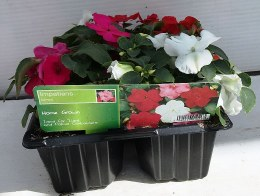Busy Lizzies | Impatiens Mixed Flower 6 Pack