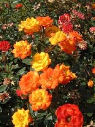 Irish Eyes Floribunda Rose - 3 Litre
