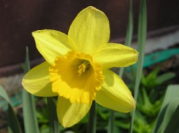 Daffodil - Narcissus Tamara - 3kg