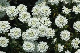 Iberis Semp. 'Snowflake' - 2ltr