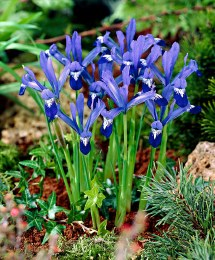 Iris 'Clairette' | Dwarf Iris 12 Pack