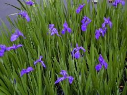 Iris Laevigata  P9