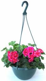 Geranium Ivy Leaf Basket 27cm