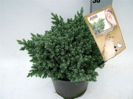 Juniperus squamata 'Blue Star' | flaky Juniper 'Blue Star'