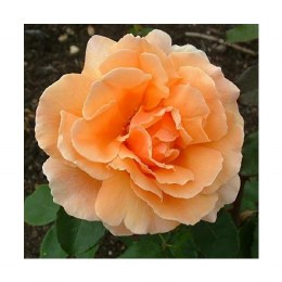 Just Joey Hybrid Tea Rose - 3 Litre