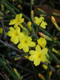 Jasminum nudiflorum - Winter Jasmine 2.2 Litre