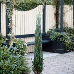 Juniperus 'Blue Arrow' 100-125cm Tall