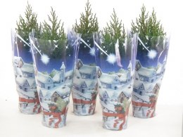 Potted Dwarf Conifer in Gift Bag - Juniper Chinensis 'Stricta' 30-40cm