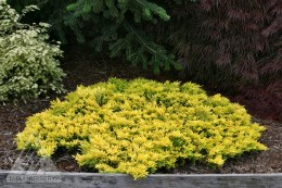 Juniperus horizontalis 'Golden Carpet' 2ltr
