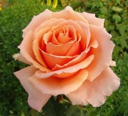 Just Joey Hybrid Tea Rose - 5.5 Litre