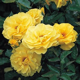 Korresia Floribunda Rose - 3 Litre