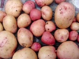 kerr's Pink Seed Potatoes 2kg  - Maincrop