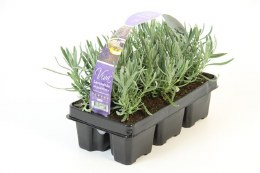 Lavender Angustifolia Six Pack