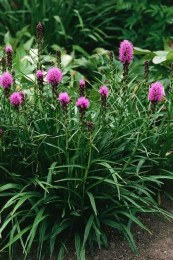 Liatris spicata 'Kobold' - 2Ltr