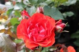 Llli Marlene Floribunda Rose - 3 Litre