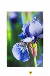 La Hacienda Garden Canvas Purple Iris 90x59x4cm