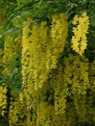 Laburnum x Watereri 'Vossii' - Golden Rain Tree 120cm - 7.5 Litre